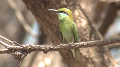 Green Bee-eater Adult Lone Grooming Spring Stock Footage