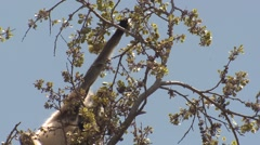 Gray Langur Monkey Adult Lone Feeding Spring Branches Buds Leaves Stock Footage