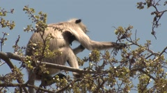 Gray Langur Monkey Adult Lone Feeding Spring Branches Tips Buds Stock Footage