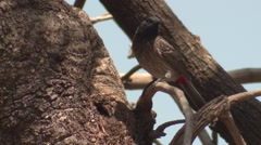 Red-vented Bulbul Lone Foraging Spring Stock Footage