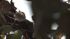 Indian Grey Hornbill Adult Lone Spring Stock Footage