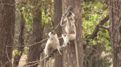 Gray Langur Monkey Young Pair Playing Spring Falling Stock Footage