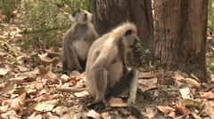 Gray Langur Monkey Adult Pair Sitting Spring Zoom Out Stock Footage