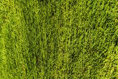 Stock Photo of green hedge background