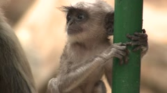 Gray Langur Monkey Young Spring Exploring Post Pipe Stock Footage