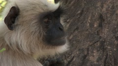 Gray Langur Monkey Adult Lone Spring Face Closeup Stock Footage