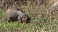 Wild Boar Pair Feeding Spring Stock Footage