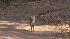 Golden Jackal Adult Lone Alarmed Spring Dirt Road - stock footage