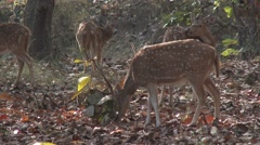 Spotted Deer Male Adult Several Alarmed Spring Cheetal Chital Axis Antlers Brush Stock Footage