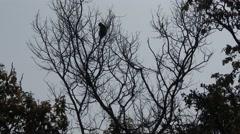 Gray Langur Monkey Lone Resting Spring Treetop Limbs Stock Footage