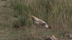 Egyptian Vulture Lone Walking Spring Stock Footage