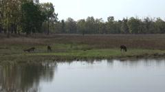 Sambar Several Feeding Spring Pond Wetland Stock Footage