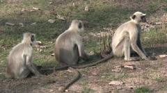 Gray Langur Monkey Several Sitting Spring Stock Footage