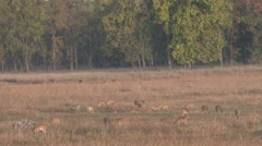 Spotted Deer Herd Feeding Spring Meadow Opening Grass Stock Footage