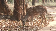 Stock Video Footage of Spotted Deer Buck Adult Several Foraging Spring Cheetal Chital Axis