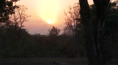 Forest Bandhavgarh National Park Spring Sunset Sun Setting Orange Sky Tiger Stock Footage