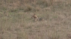Golden Jackal Pair Spring Grass - stock footage
