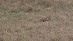 Golden Jackal Pair Spring - stock footage