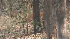 Reeves Muntjac Buck Doe Pair Feeding Spring Barking Deer Stock Footage