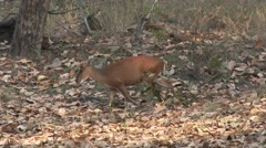 Reeves Muntjac Doe Adult Spring Barking Deer Road Stock Footage