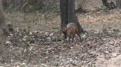 Reeves Muntjac Buck Adult Lone Foraging Spring Barking Deer Stock Footage