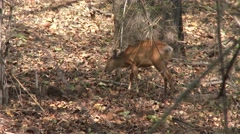 Reeves Muntjac Doe Adult Lone Walking Spring Barking Deer Tail Stock Footage