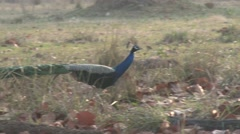 Peafowl Male Adult Lone Walking Spring Peacock - stock footage