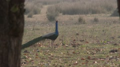 Peafowl Male Adult Lone Spring Peacock Stock Footage