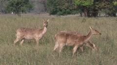 Barasingha Female Adult Several Spring Swamp Deer Forest Opening Meadow Stock Footage