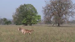 Barasingha Doe Several Spring Swamp Deer Tiger Habitat Stock Footage