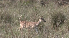 Spotted Deer Doe Alarmed Spring Cheetal Chital Axis Stock Footage