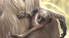 Gray Langur Monkey Young Spring Baby Newborn Infant Face Closeup - stock footage