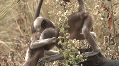 Gray Langur Monkey Female Adult Young Several Playing Spring Log Wrestling - stock footage