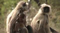 Gray Langur Monkey Female Adult Young Several Resting Spring Mothers Stock Footage