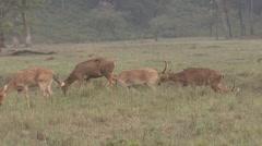 Barasingha Buck Doe Adult Feeding Spring Dusk Swamp Deer Stock Footage