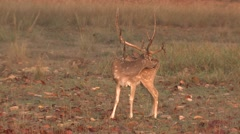 Spotted Deer Buck Adult Lone Grooming Spring Dawn Cheetal Chital Axis Antlers Stock Footage