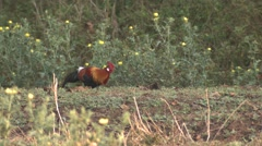 Red Junglefowl Cock Adult Lone Feeding Spring Stock Footage