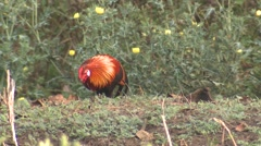 Red Junglefowl Male Adult Lone Feeding Spring Ground Level Stock Footage
