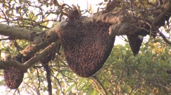 Other Kanha National Park Spring Hive Comb Bees Stock Footage