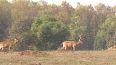 Barasingha Buck Adult Several Walking Spring Swamp Deer Stock Footage