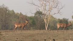 Barasingha Buck Adult Several Walking Spring Swamp Deer Bachelor Group Stock Footage
