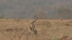 Gray Langur Monkey Adult Running Spring Troop Stock Footage