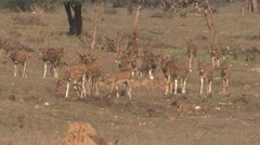 Stock Video Footage of Spotted Deer Buck Doe Herd Walking Spring Cheetal Chital Axis