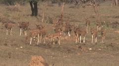 Spotted Deer Buck Doe Herd Walking Spring Cheetal Chital Axis Stock Footage