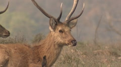 Barasingha Buck Adult Resting Spring Swamp Deer Mynha Stock Footage