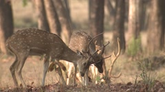 Stock Video Footage of Spotted Deer Buck Adult Pair Fighting Spring Cheetal Chital Axis Sparring