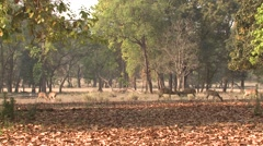 Spotted Deer Buck Doe Adult Herd Fighting Spring Cheetal Chital Axis Sparring - stock footage