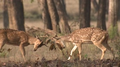 Stock Video Footage of Spotted Deer Buck Adult Pair Fighting Spring Cheetal Chital Axis Pushing