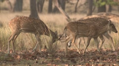 Spotted Deer Buck Adult Several Fighting Spring Cheetal Chital Axis Antlers Stock Footage