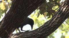 Large-billed Crow Adult Lone Feeding Spring Bill Beak Backlight Stock Footage